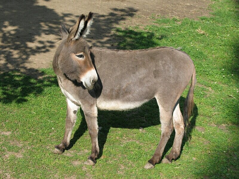 Donkey.Turning head.Osiol001xx.jpg